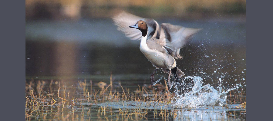 pintail_duck