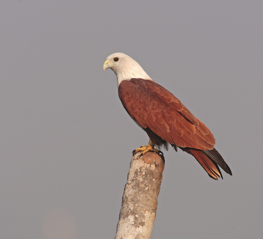 brahminy_kite_india