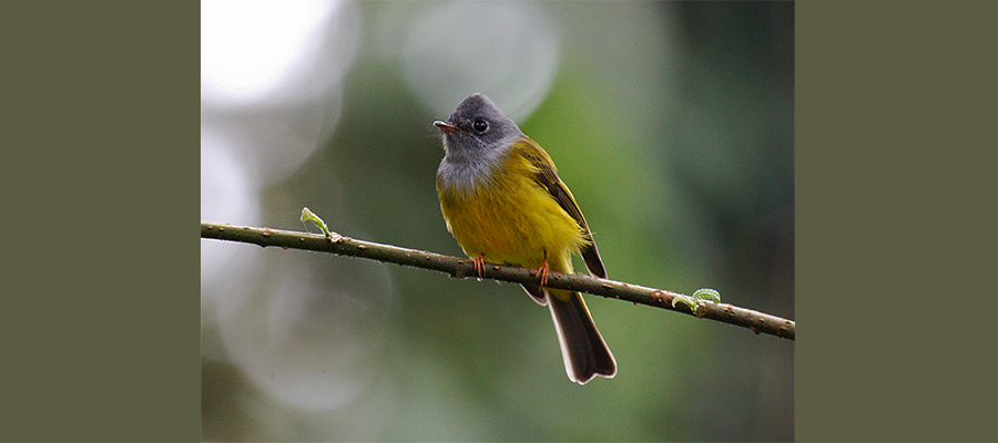 grey_headed_canary_flycatcher