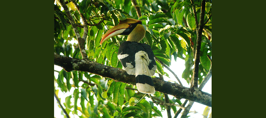 great_hornbill_lasse
