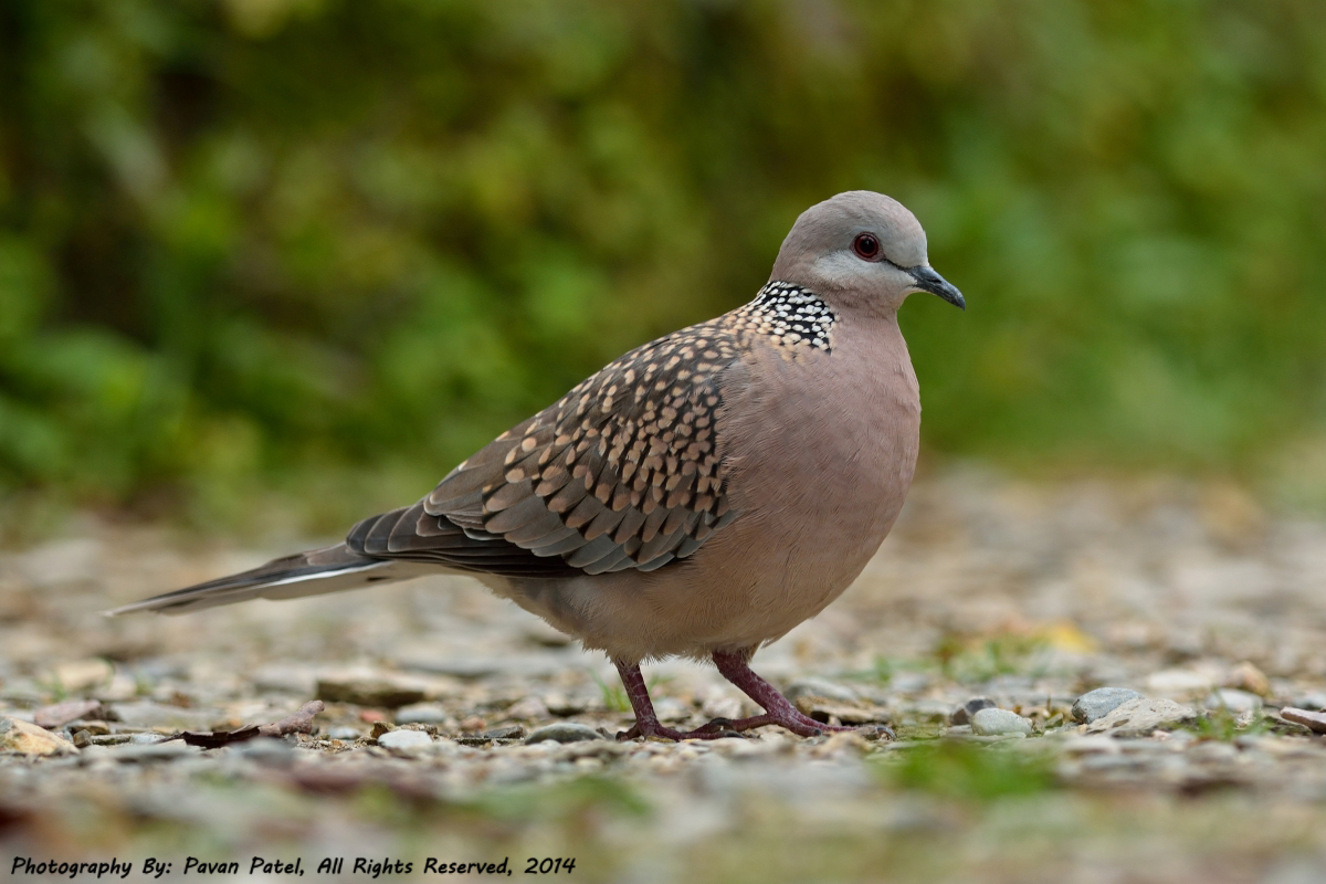 spotted_dove