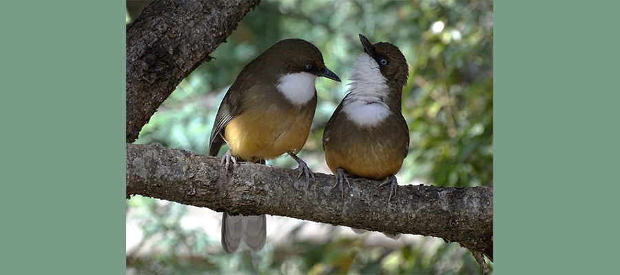 white_throated_laughingthrush