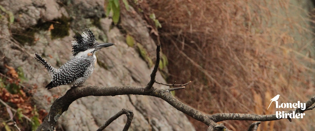 crested_kingfisher_birding