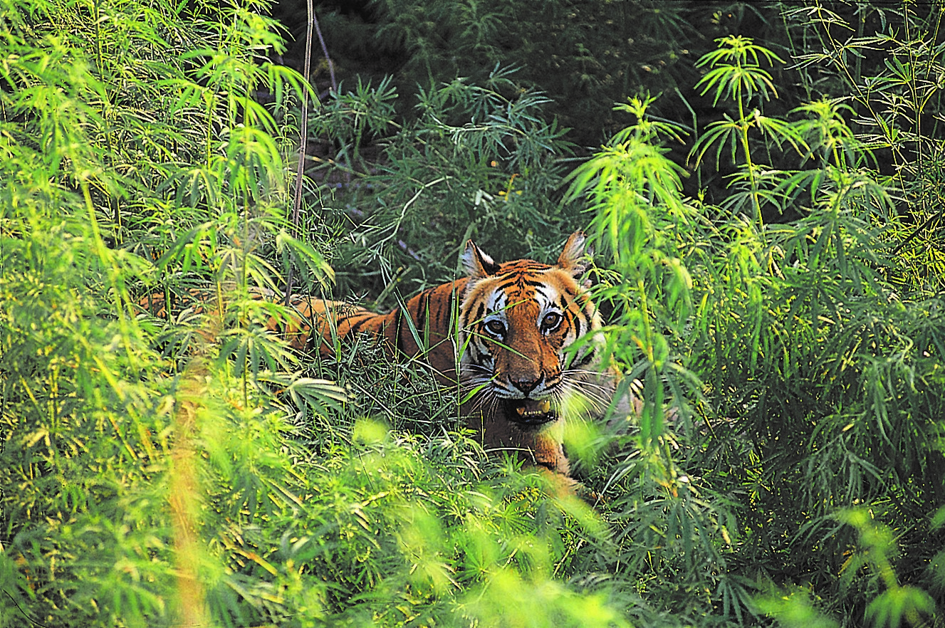 Just Tigers at Bandhavgarh & Taj Mahal