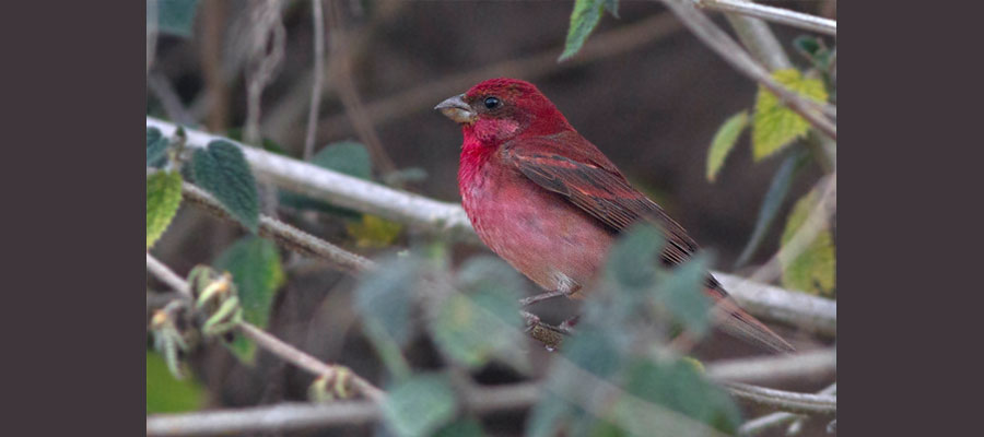 rosefinch_bird