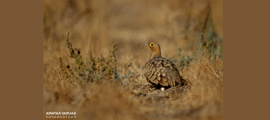pin_tailed_sandgrouse
