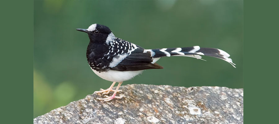 spotted_forktail_birds
