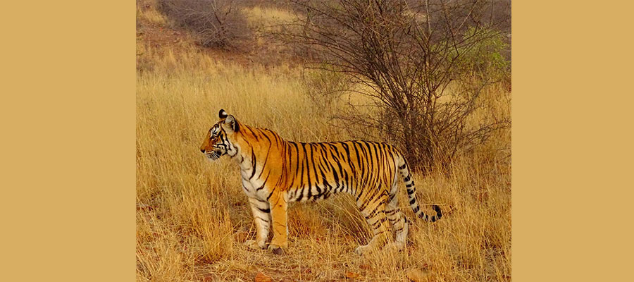 tiger_tours_in_india