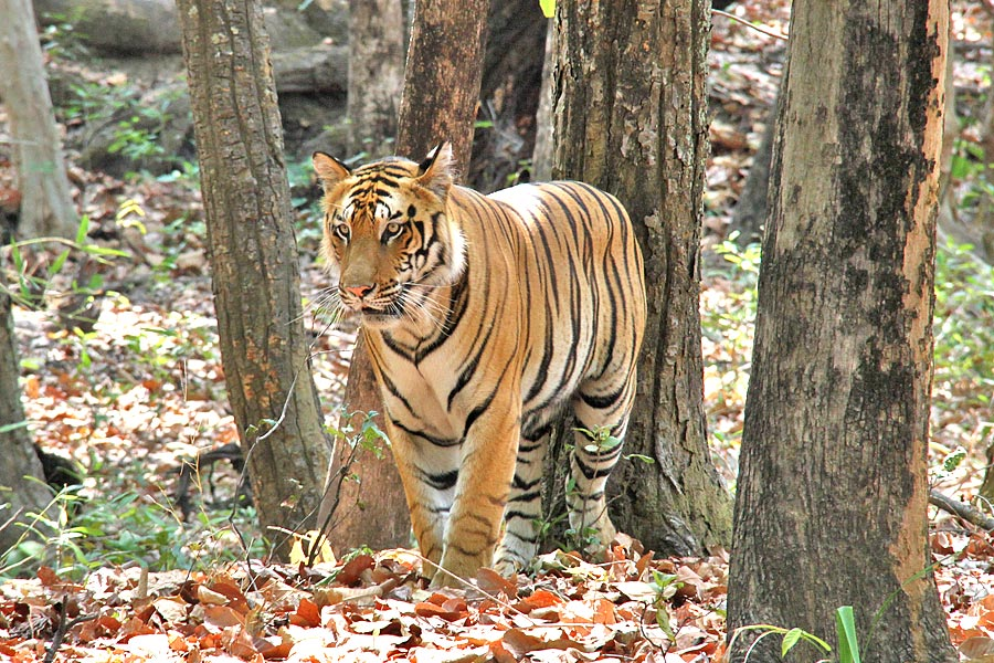 Just Tigers ! Bandhavgarh and Kanha National Parks (May 05 Days; # 260)