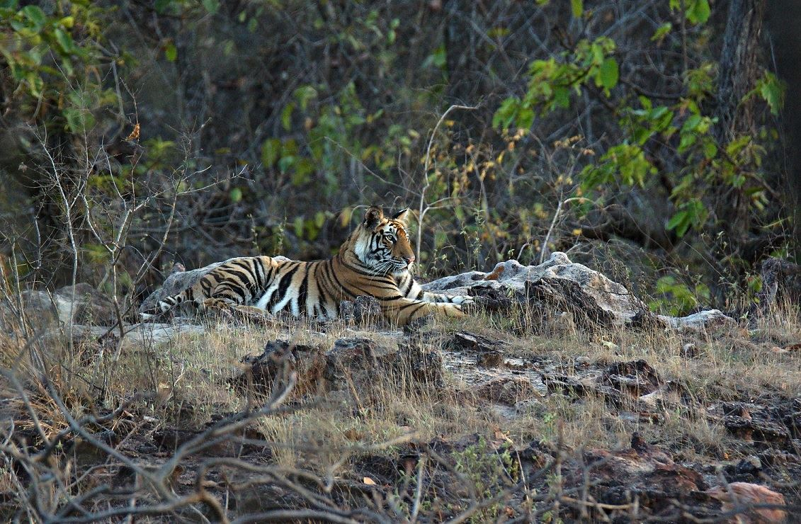 Just Tigers! Bandhavgarh (03 Nights #765)