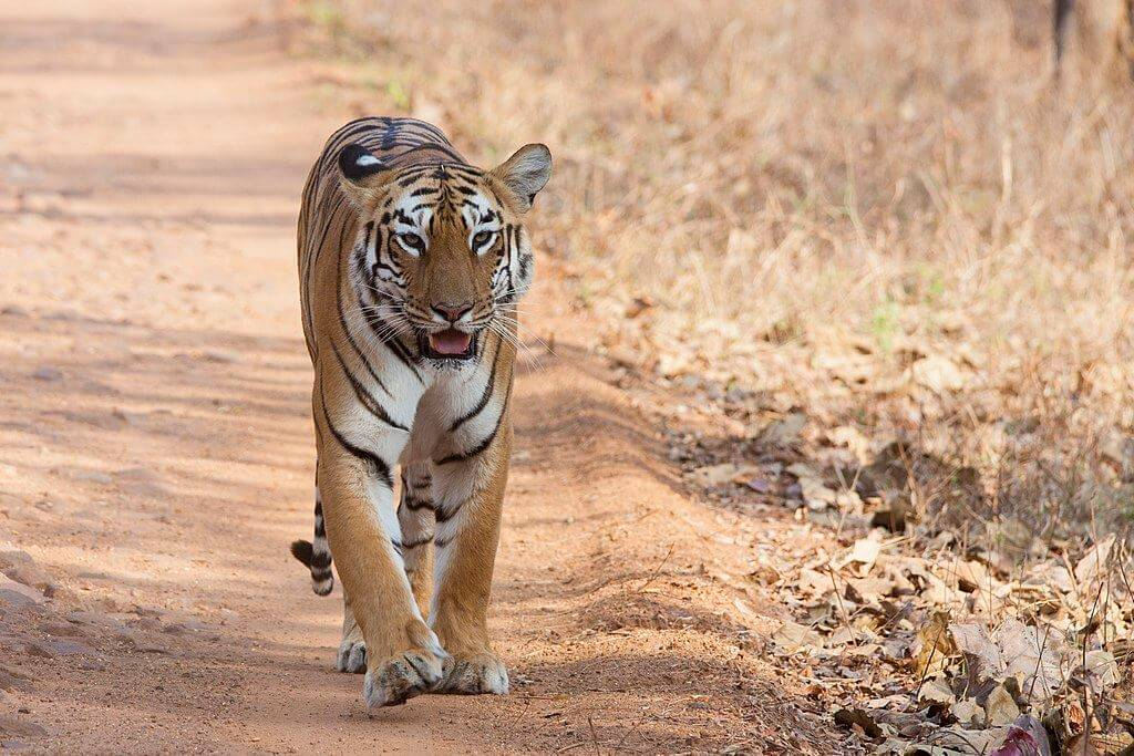 Bandhavgarh National Park Tiger Safari (03 Days; # 556)