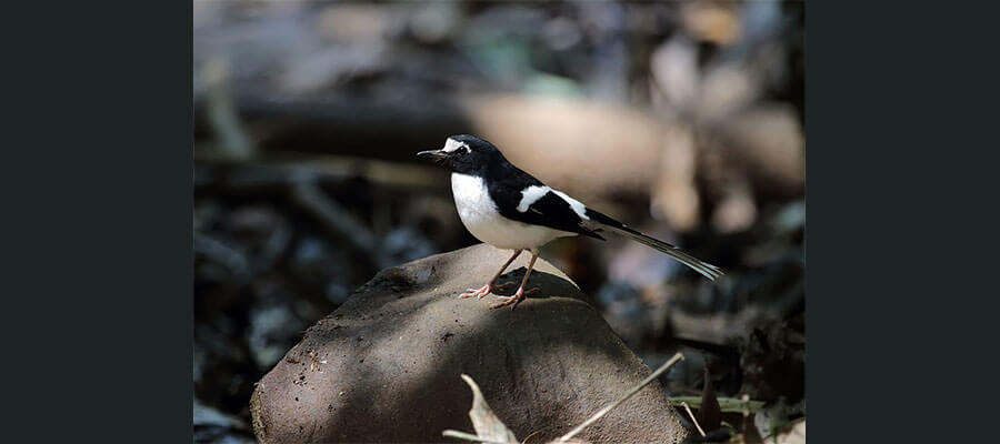 spotted_forktail