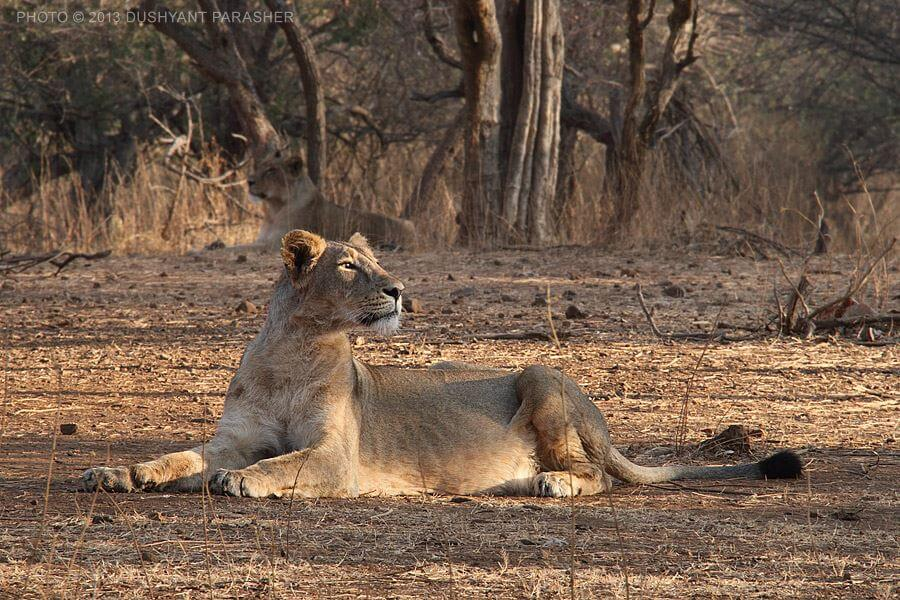 A Short Gir Forest Tour (03 Days; # 168-A)