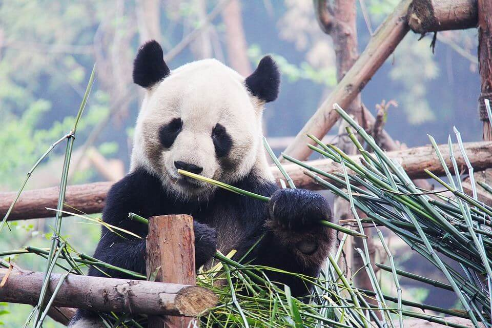 China Wildlife and Culture Exploration (09 Days; # 305)