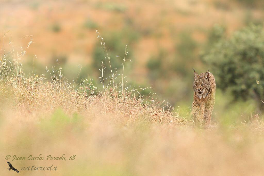 Iberian Lynx And Fauna In South Of Spain Tour (08 Days; # 264)