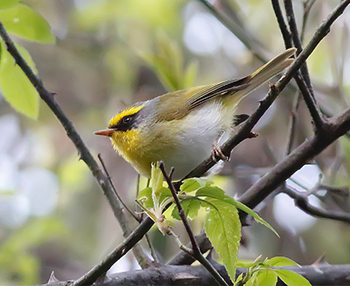 Black-faced-Warbler_Ramgarh