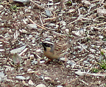 Black-throated-Accentor_Pangot