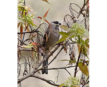Brown-Bullfinch_Sattal