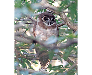 Brown-Wood-Owl_Pangot