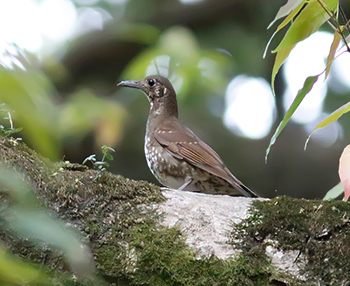 Dark-sided-Thrush_Sattal
