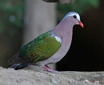 Emerald-Dove_Pangot