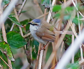 Grey-crowned-Prinia