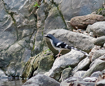 Slaty-backed-Forktail_nr-Gaula-River
