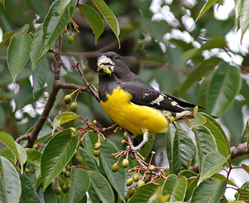 Spot_winged_grosbeak _1