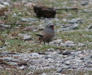 White-tailed-Rubythroat_Gaula-River