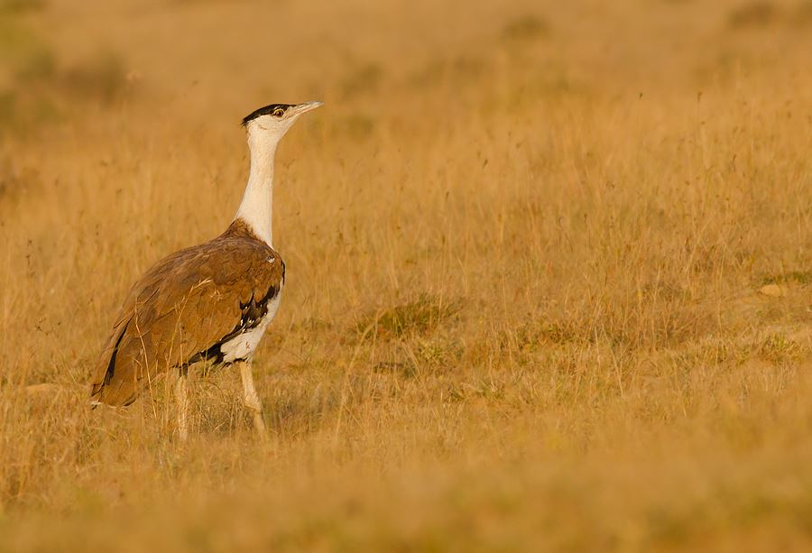 Great Indian Bustard Tours India (09 Days #826-MP)